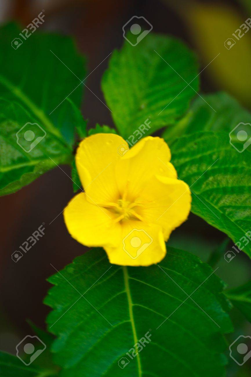 Yellow Flowers With Five Petals Stock Photo Picture And Royalty