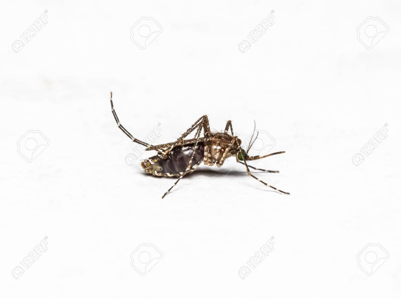 Zica virus aedes aegypti zanzara isolata on white, dengue, zanzara è  portatore di malaria, encefalite