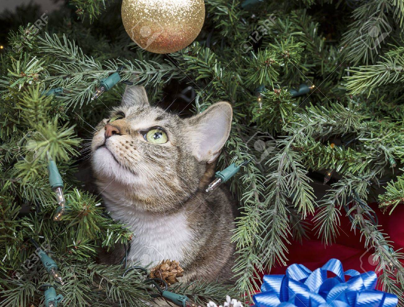 Tabby cat ornament - Gray Tabby Cat Starring At Golden Ornament While Inside Of Christmas Tree Stock Photo 16892803