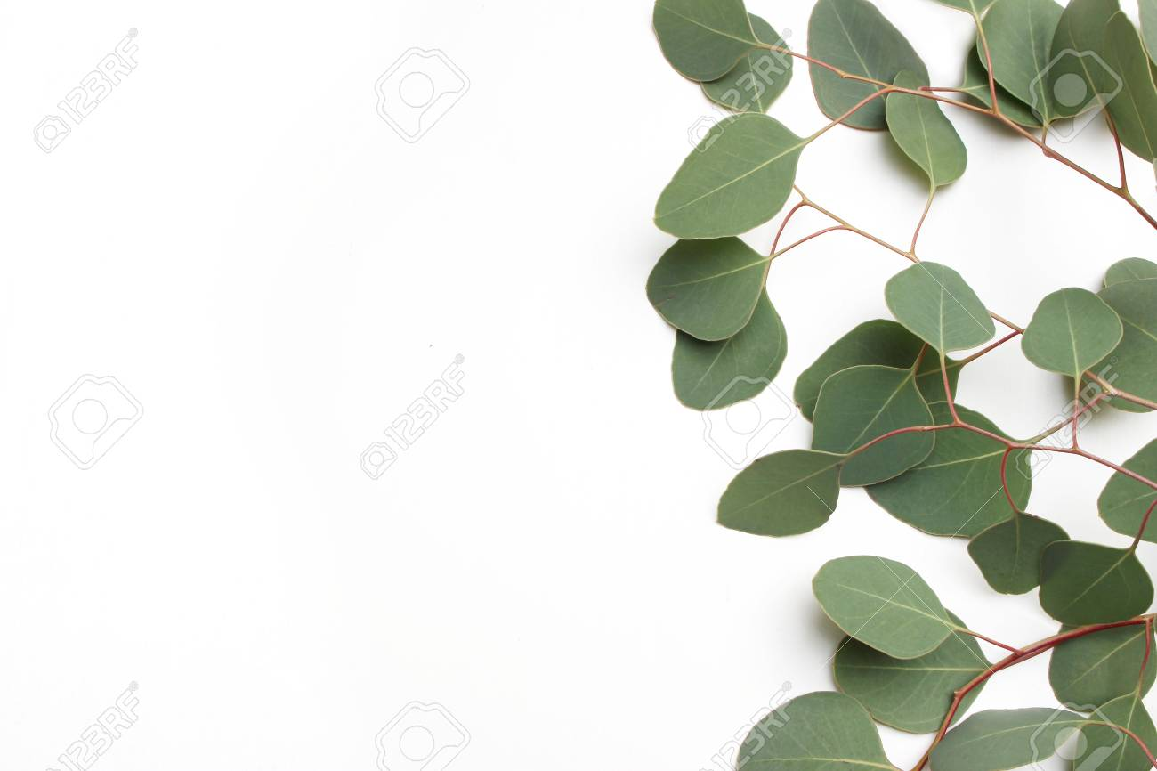 91725851 frame border made of green silver dollar eucalyptus cinerea leaves and branches on white background