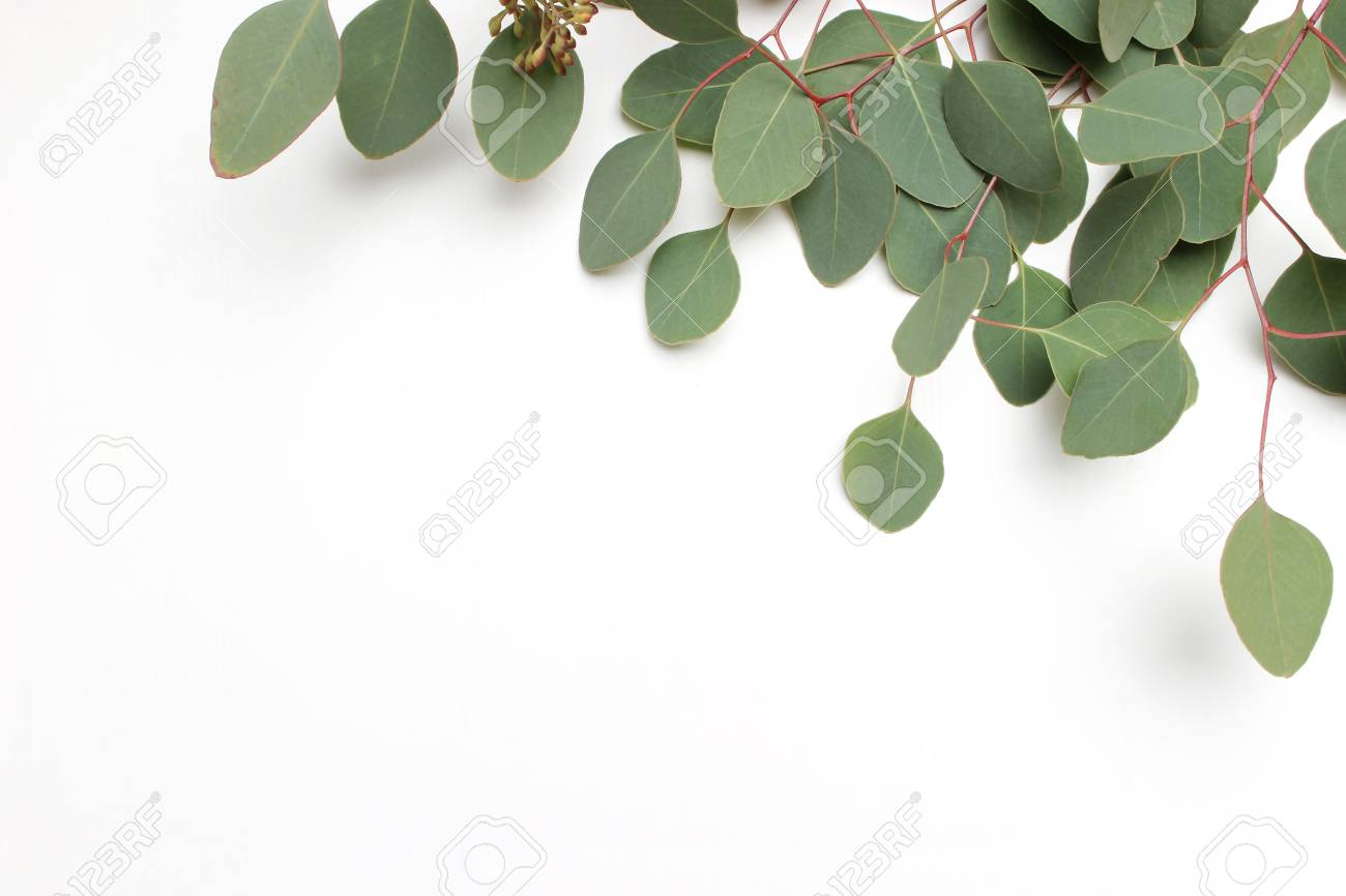 93534164 frame border made of green silver dollar eucalyptus cinerea leaves and branches on white background