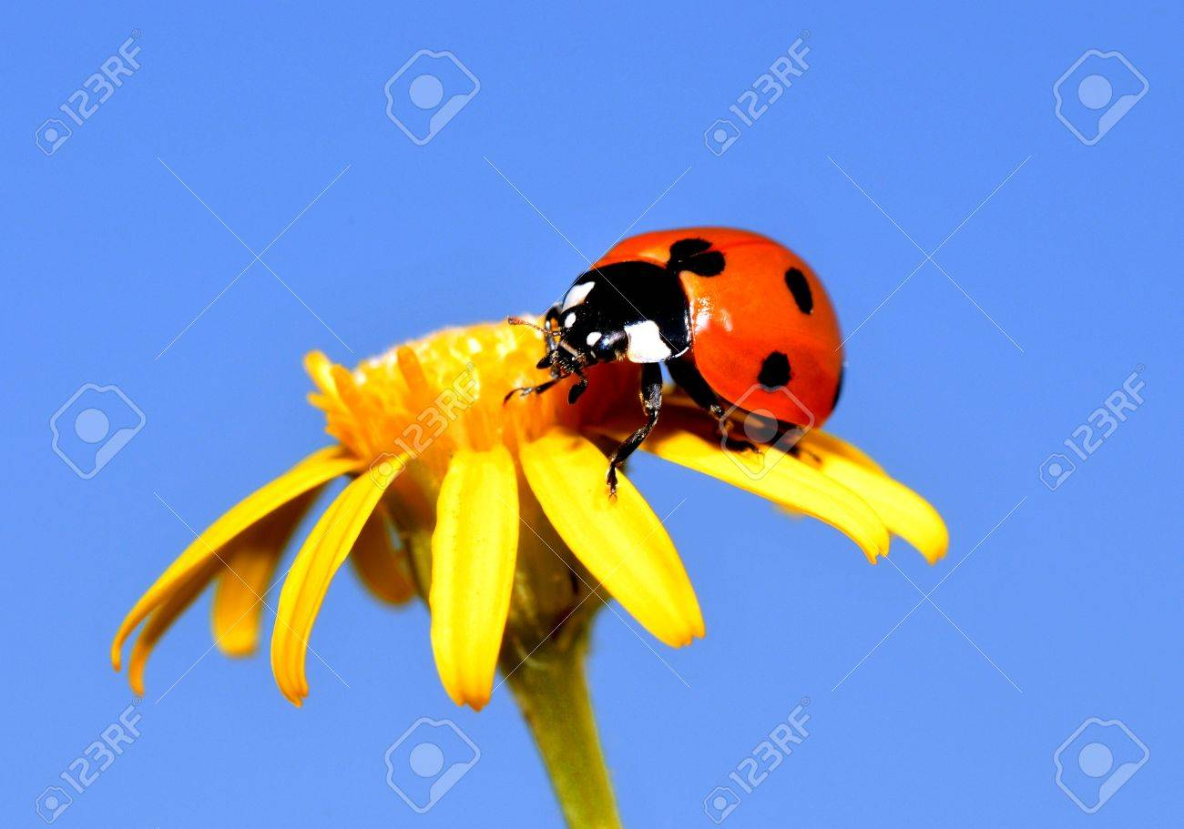 Ladybug on a yellow flower royalty free stok fotoraf resimler ladybug on a yellow flower stok fotoraf 21159773 mightylinksfo