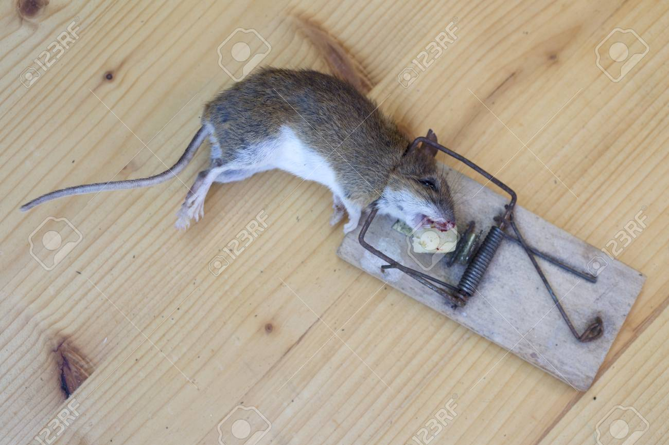 Dead Mouse In An Old Wooden Mousetrap Stock Photo, Picture And Royalty Free  Image. Image 86050330.