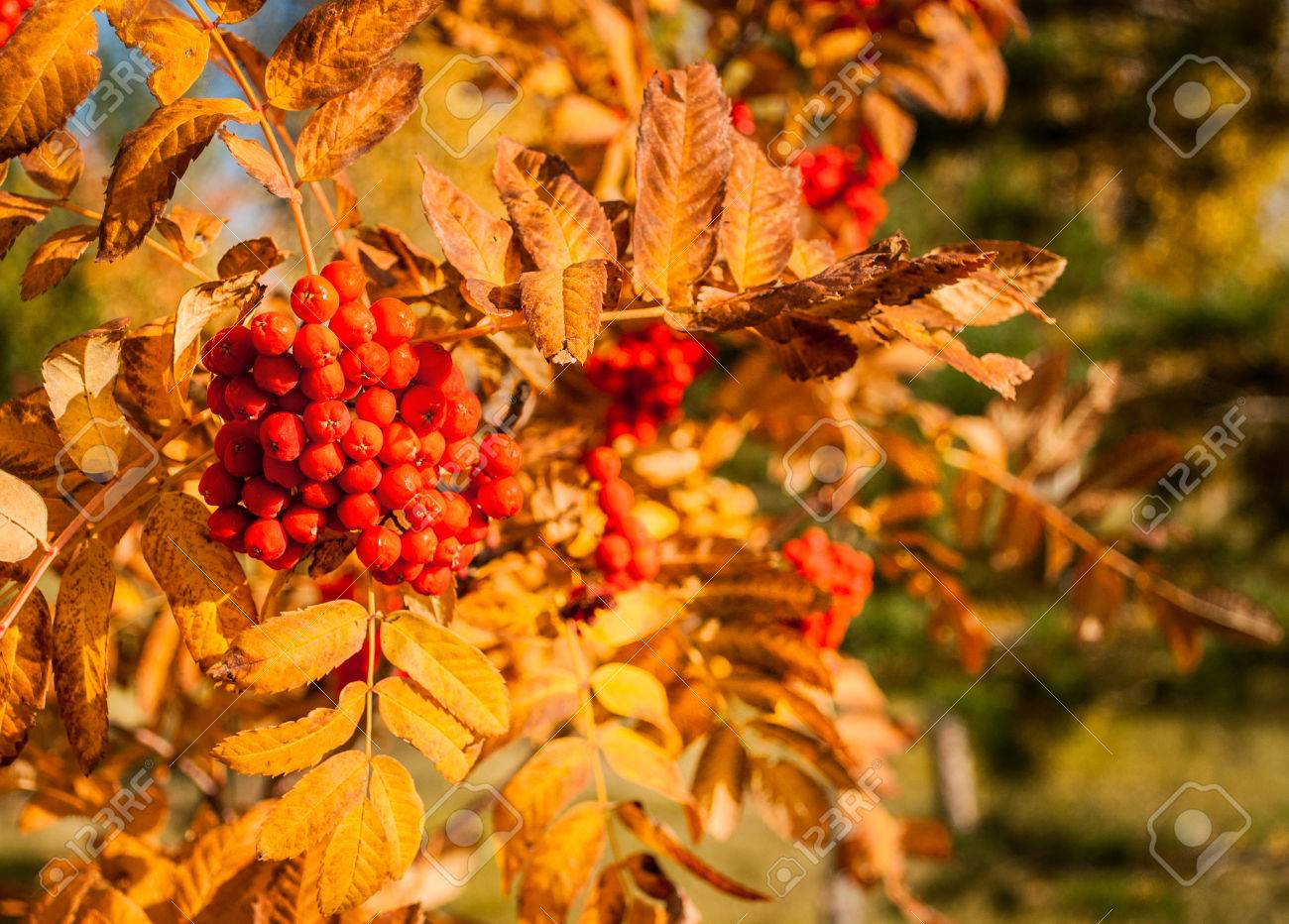 Autumn Tree With Red Berries Stock Photo Picture And Royalty Free