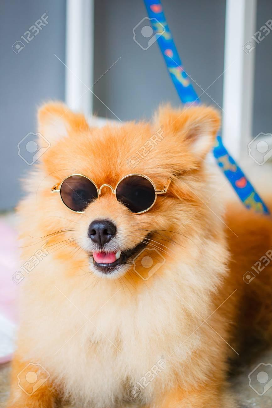 Pomeranian Dog Smile So Cute Beautiful Pomeranian Dog Stock Photo Picture And Royalty Free Image Image 106823508