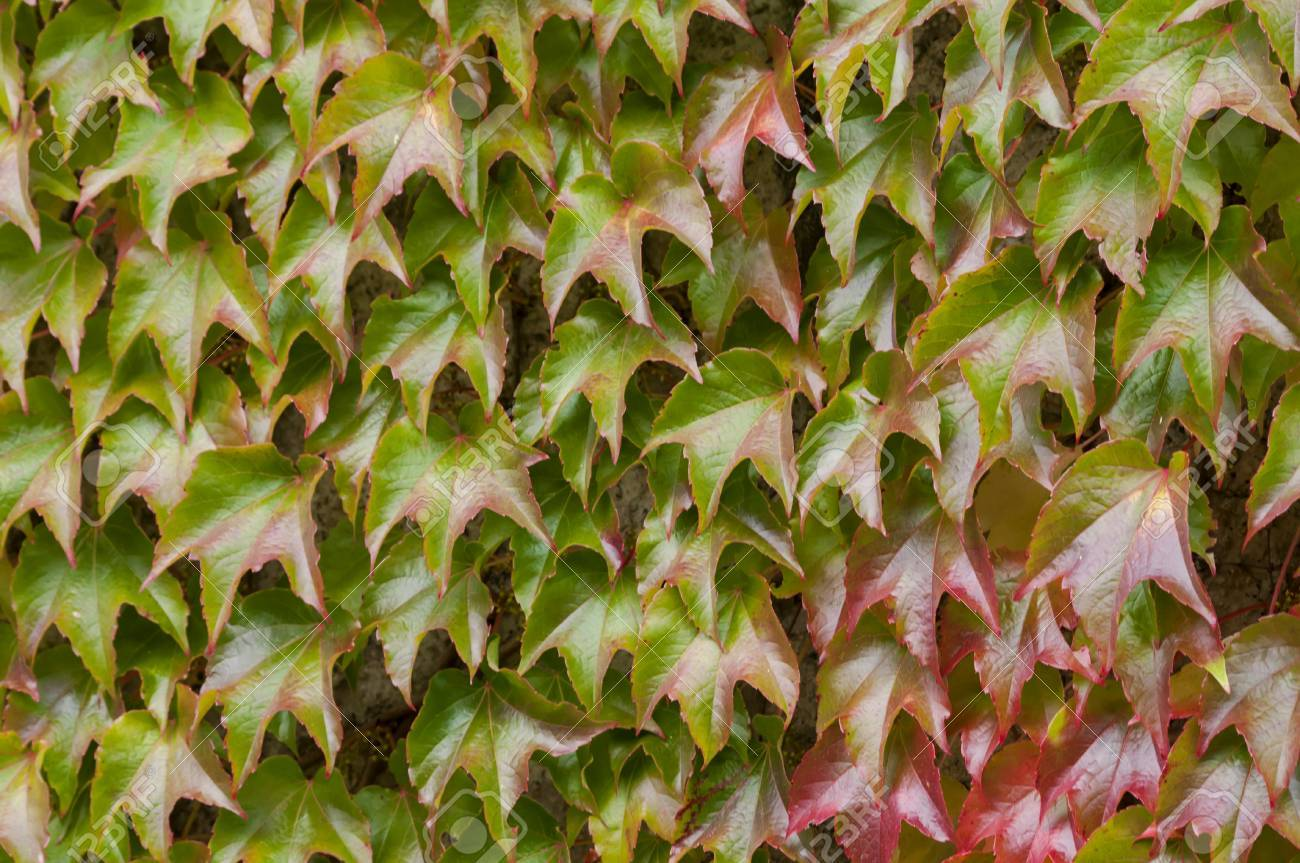 Detail Of Ivy In Autumn. Ivy On The Wall. Detail Of Red Hedera ...