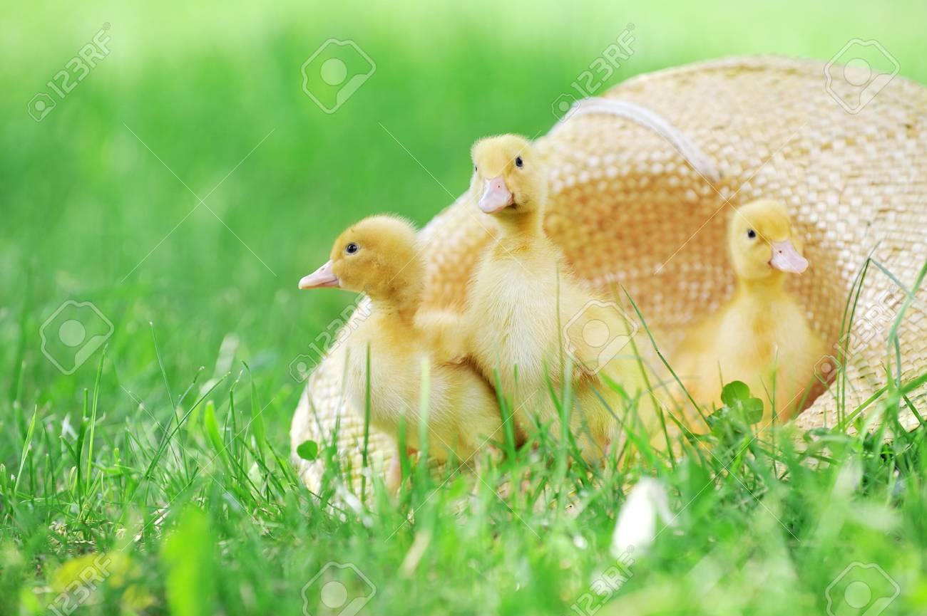 three cute fluffy  ducklings sitting in straw hat Stock Photo - 7479117
