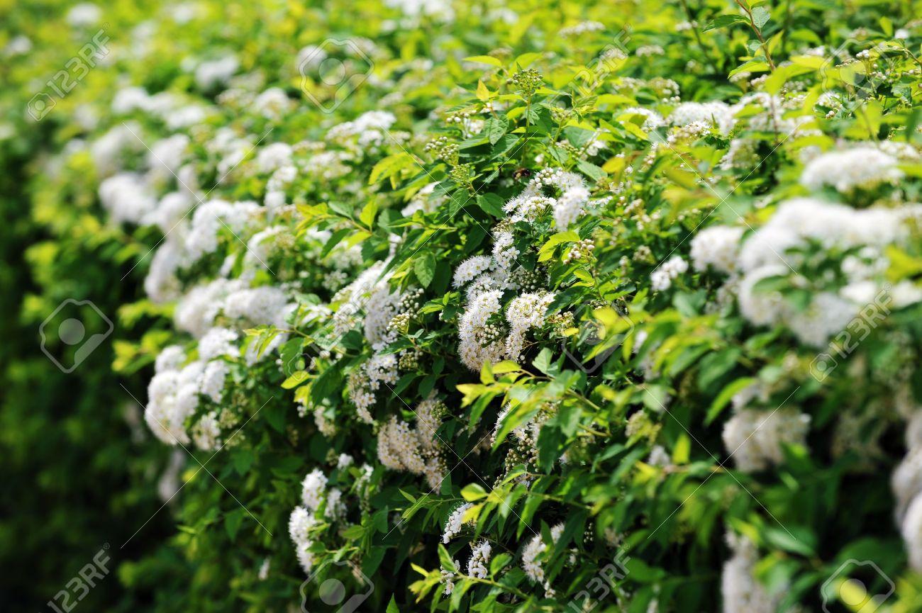 Arbustos En Flor Blanca En El Jardin De Spiraea Fotos Retratos - Arbustos-de-flor