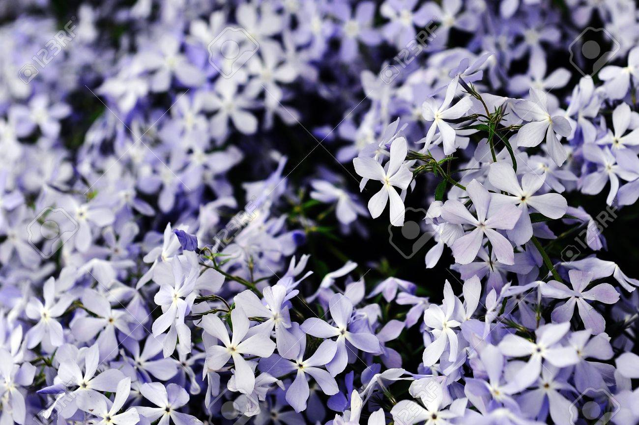 Purple Phlox Subulata Small Flowers Bloom In Late Spring And