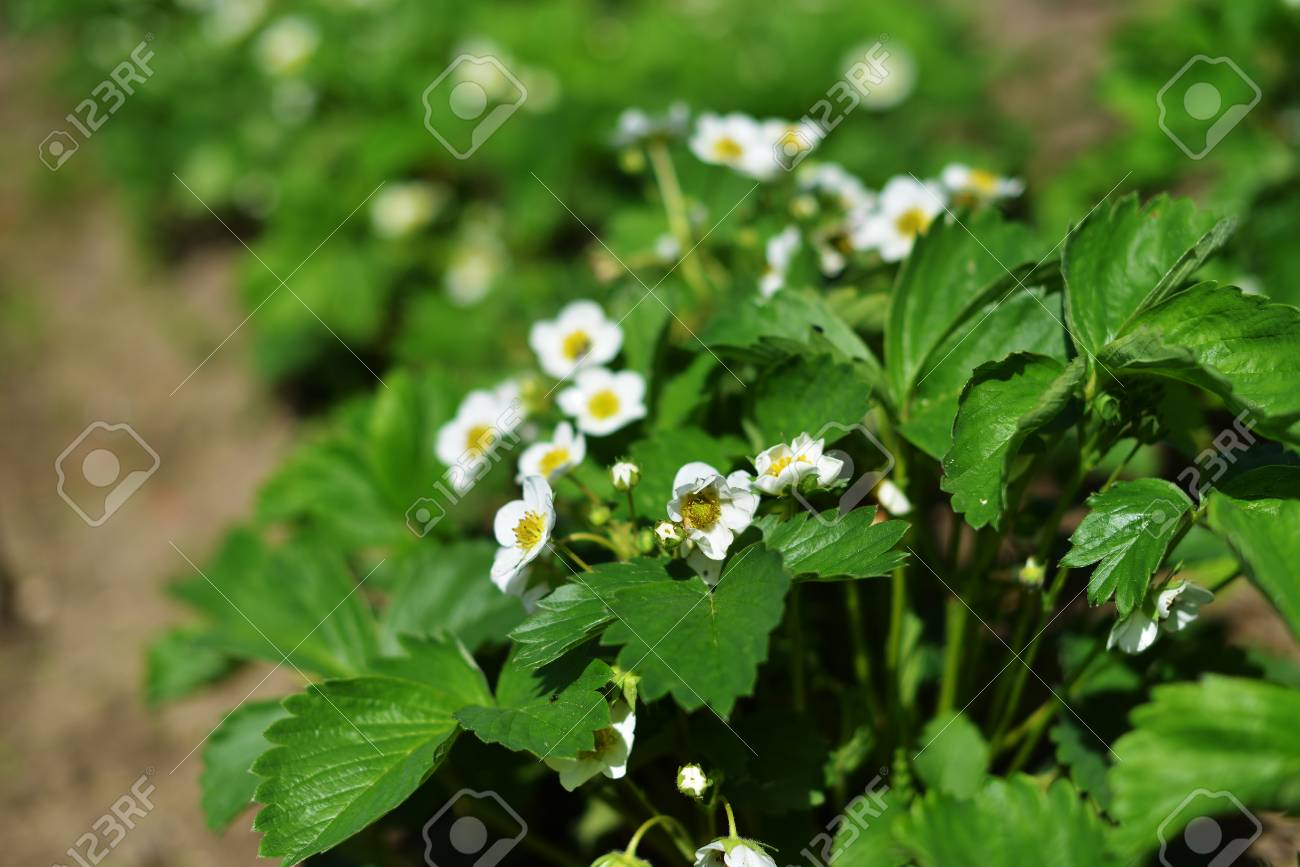 White Flowers Of Strawberries In Vegetable Garden Stock Photo
