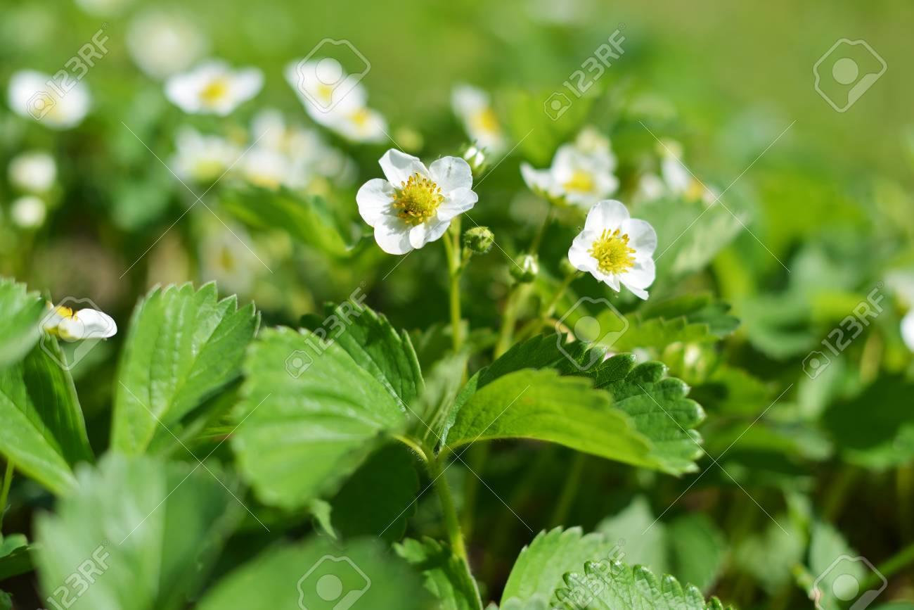White Flowers Of Strawberries In Vegetable Garden Stock Photo