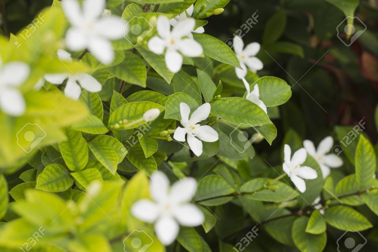 Thai white jasmine flower in the garden stock photo picture and stock photo thai white jasmine flower in the garden izmirmasajfo