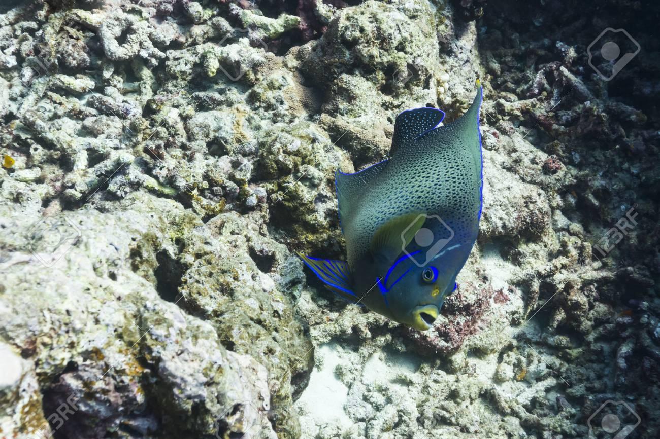 Semicircle angelfish at Surin national park Stock Photo - 16881661