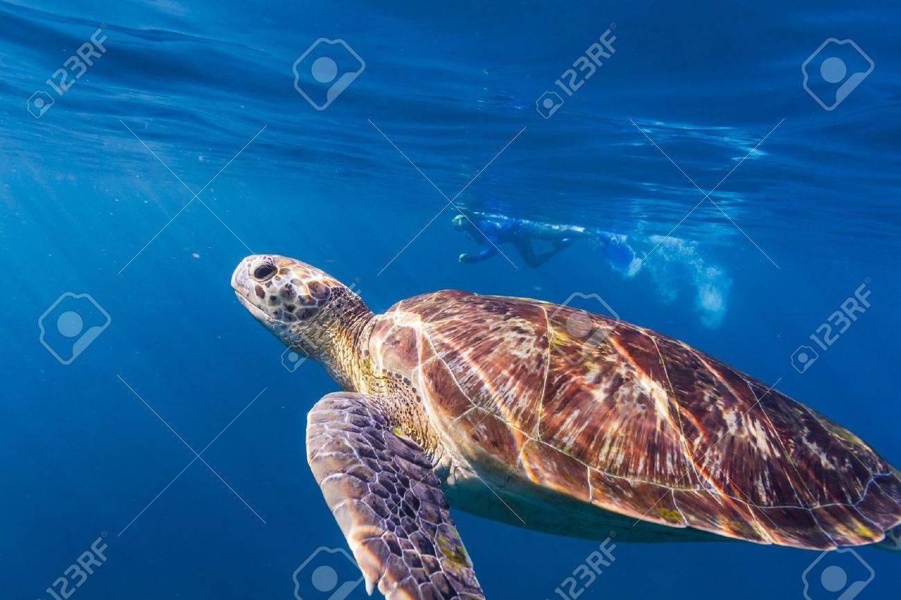 Hawksbill sea turtle at Similan national park Stock Photo - 16952719