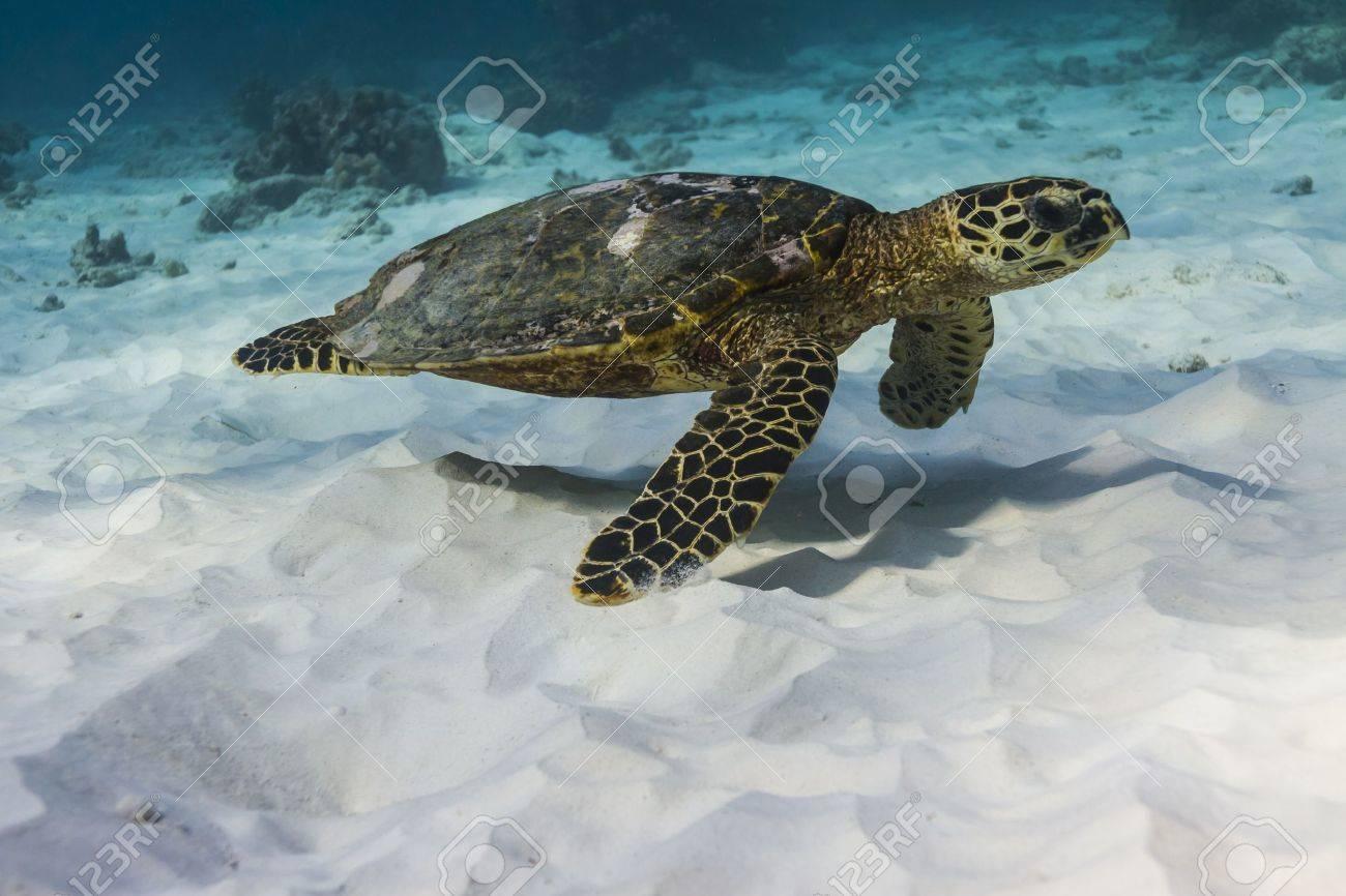 Hawksbill sea turtle at Similan national park - 16952765