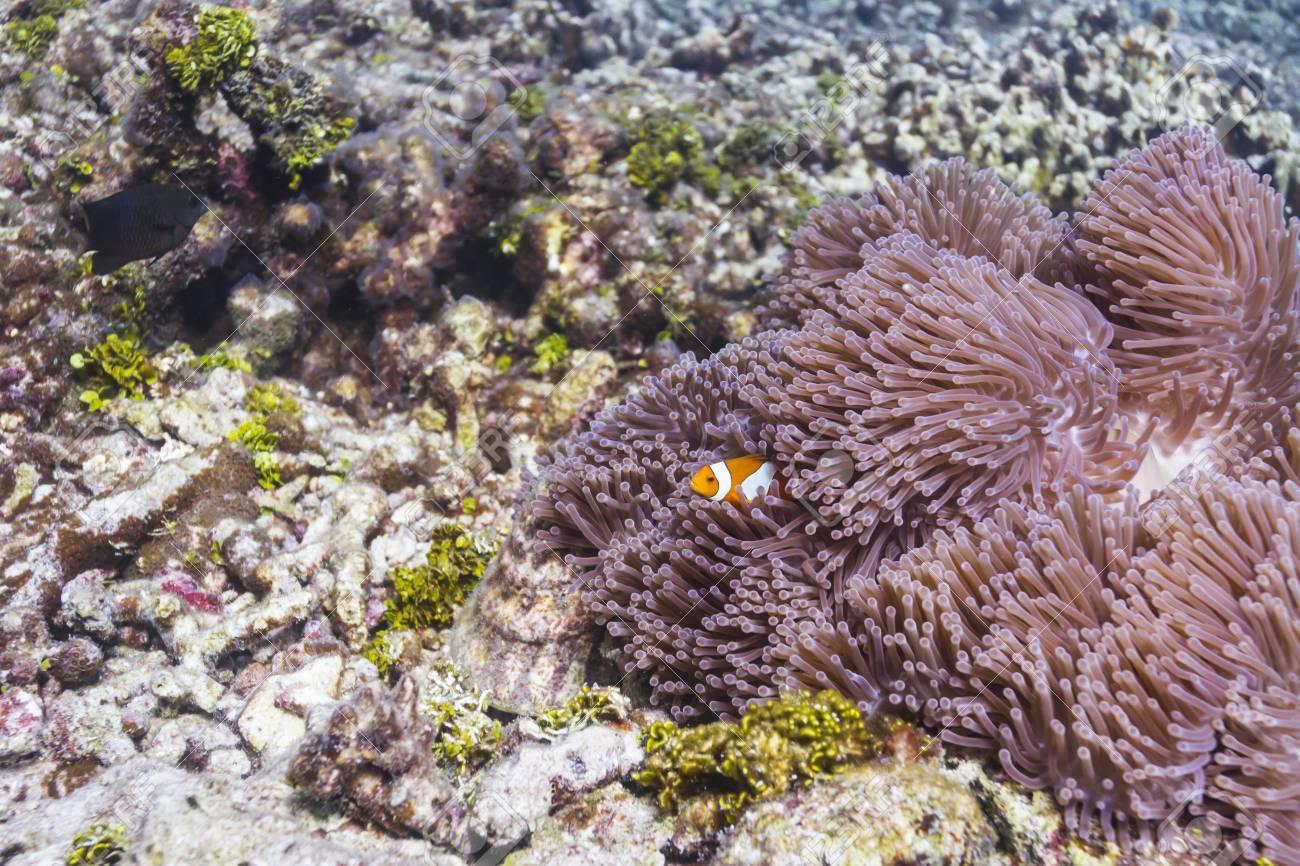 Anemonefish at Similan island in Thailand Stock Photo - 17046061