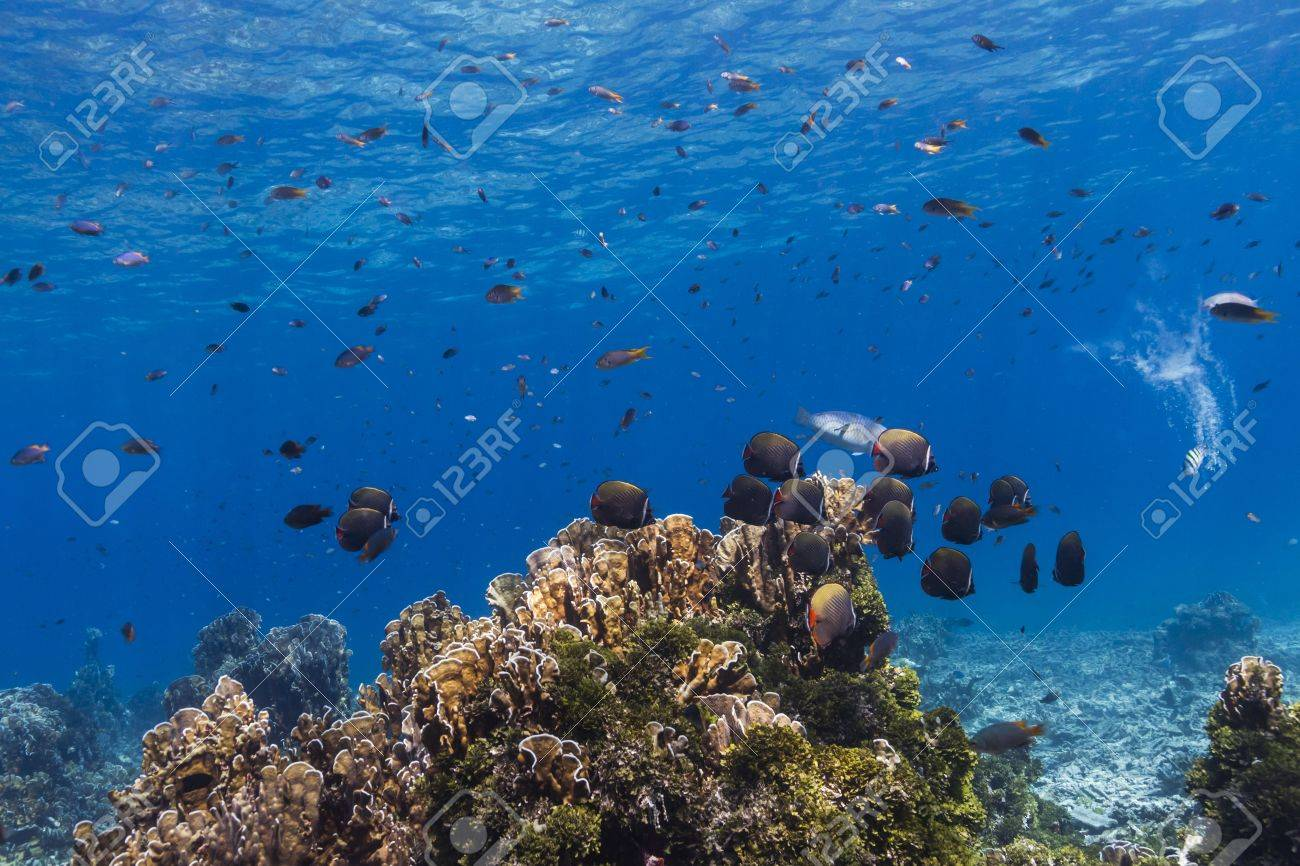 Collared butterflyfish at Similan national park in Thailand Stock Photo - 17134114