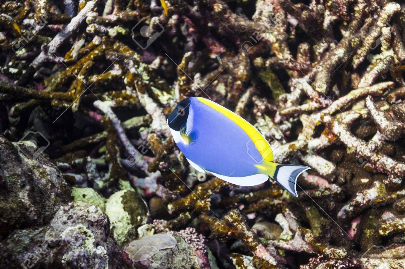 Powder blue tang at Surin island Stock Photo - 17601425