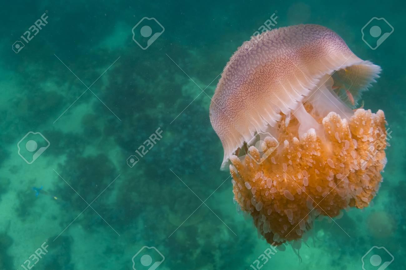 Jellyfish at Lipe island in Thailand Stock Photo - 17947456