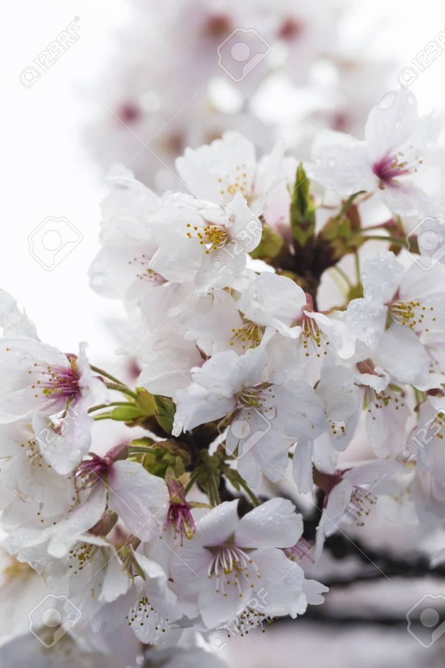Fleur De Cerisier Japonais Apres La Pluie Banque D Images Et Photos