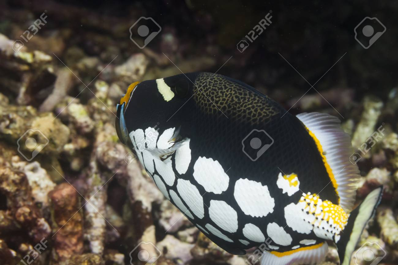Clown triggerfish at Surin national park in Thailand Stock Photo - 19261745