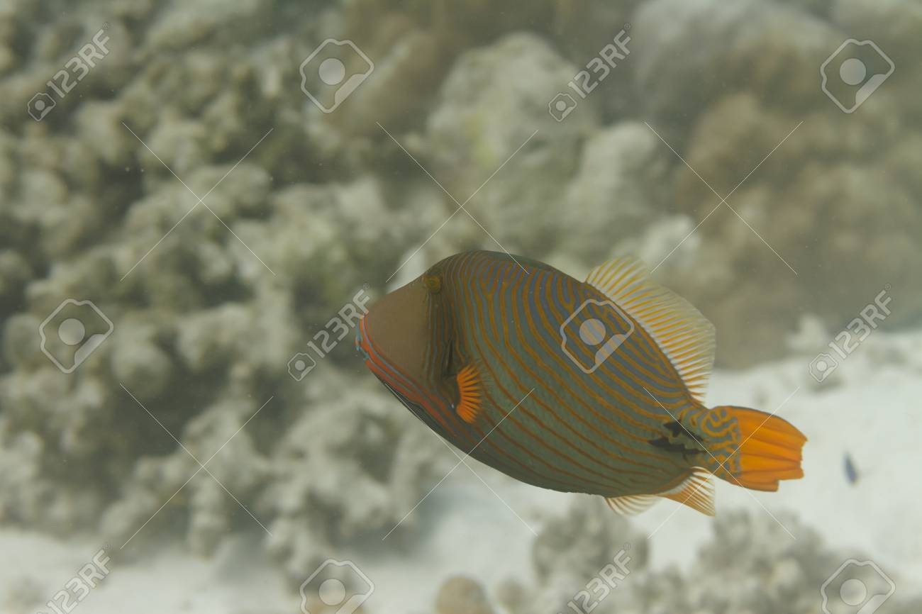 Orange lined triggerfish at Surin island in Thailand Stock Photo - 19361887