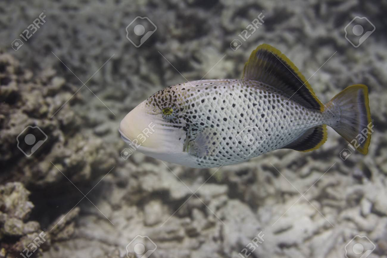 Yellowmargin triggerfish at Surin national park in Thailand Stock Photo - 24443131