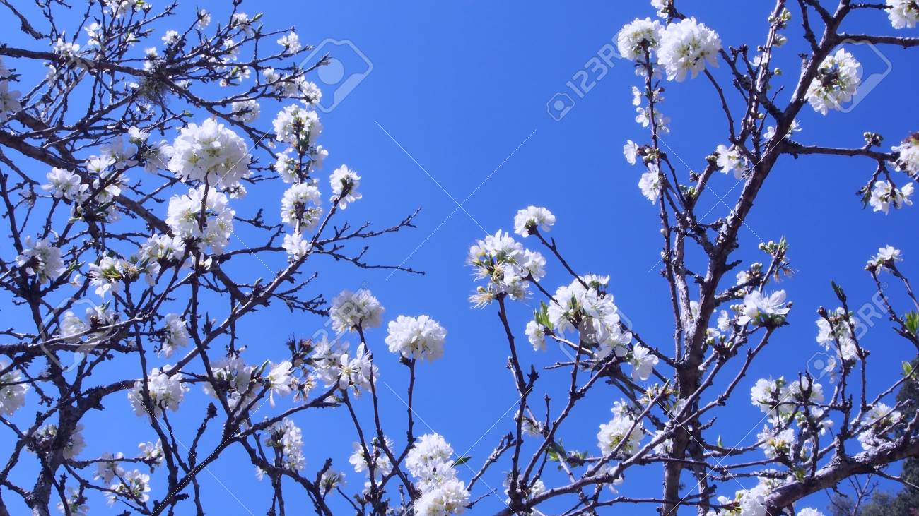 Colorful flowers bloom on tree with blue sky bachground stock photo colorful flowers bloom on tree with blue sky bachground stock photo 36420414 izmirmasajfo