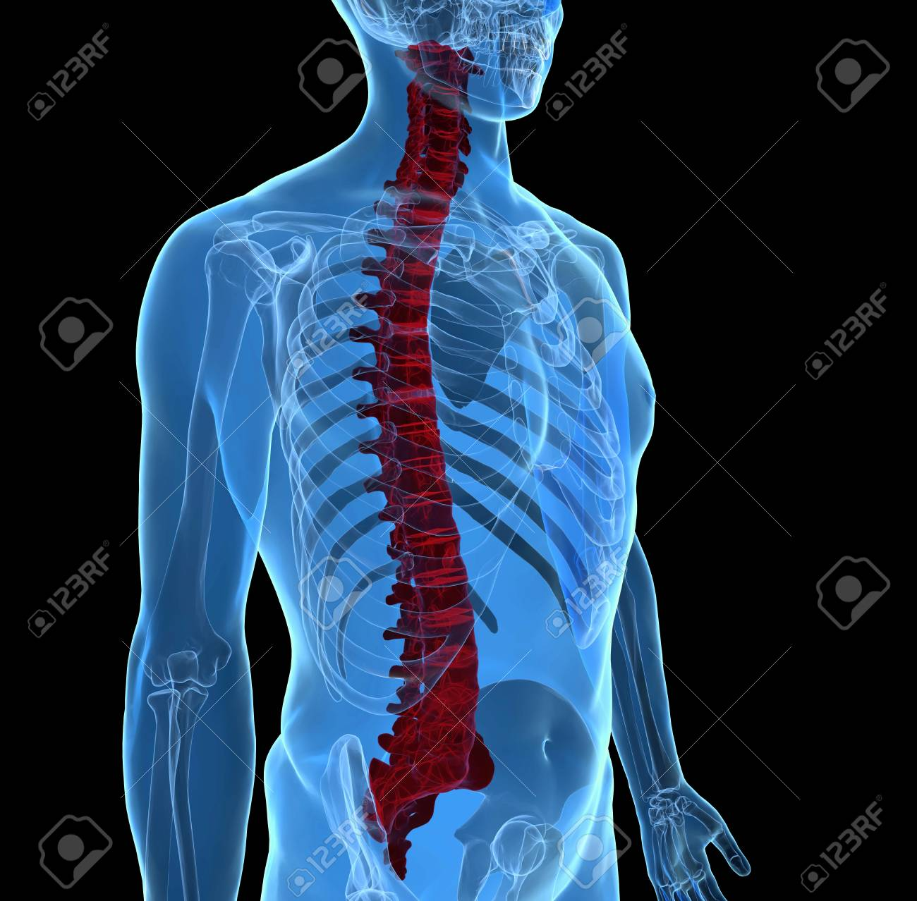 3d Rendering Of Spine Vertebrae Anatomy Bones With X Ray Effect