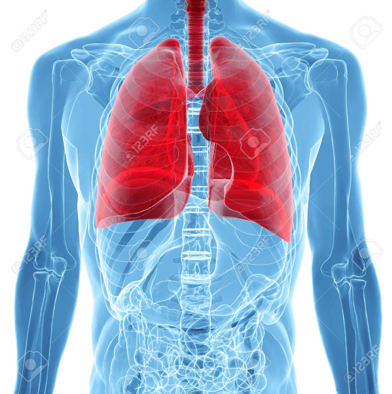 Anatomie Der Menschlichen Lunge In Der Röntgen-Blick Lizenzfreie ...