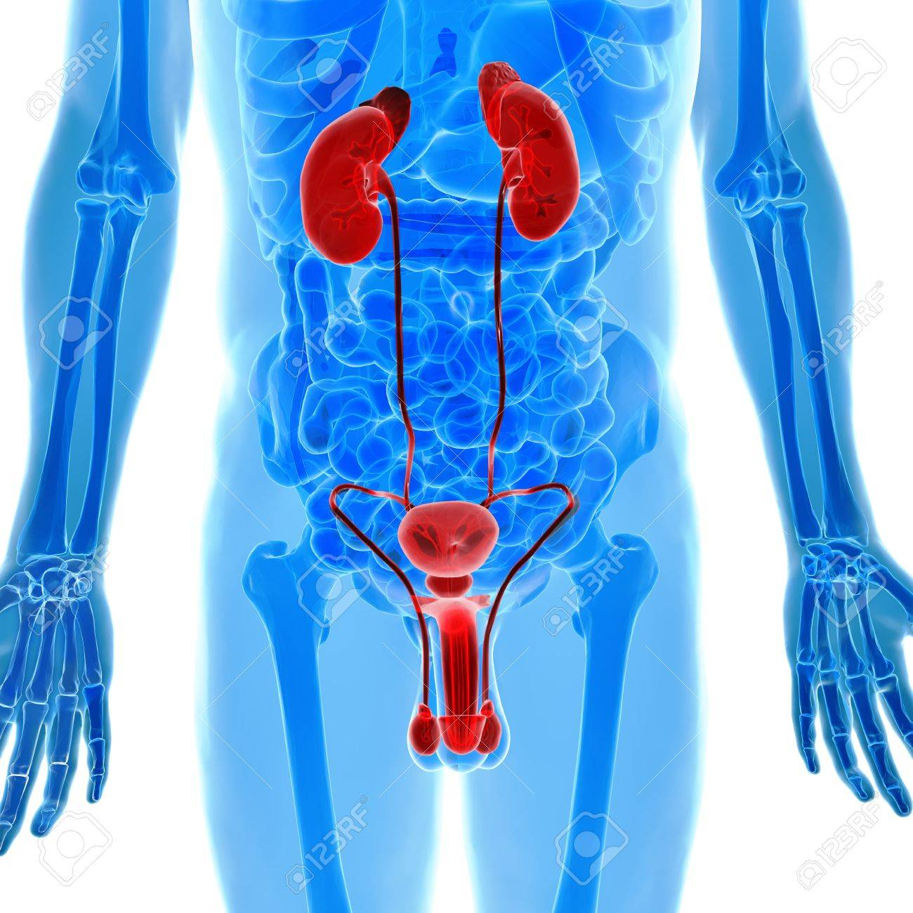 Male Genitals And Kidneys Anatomy Stock Photo, Picture And Royalty ...