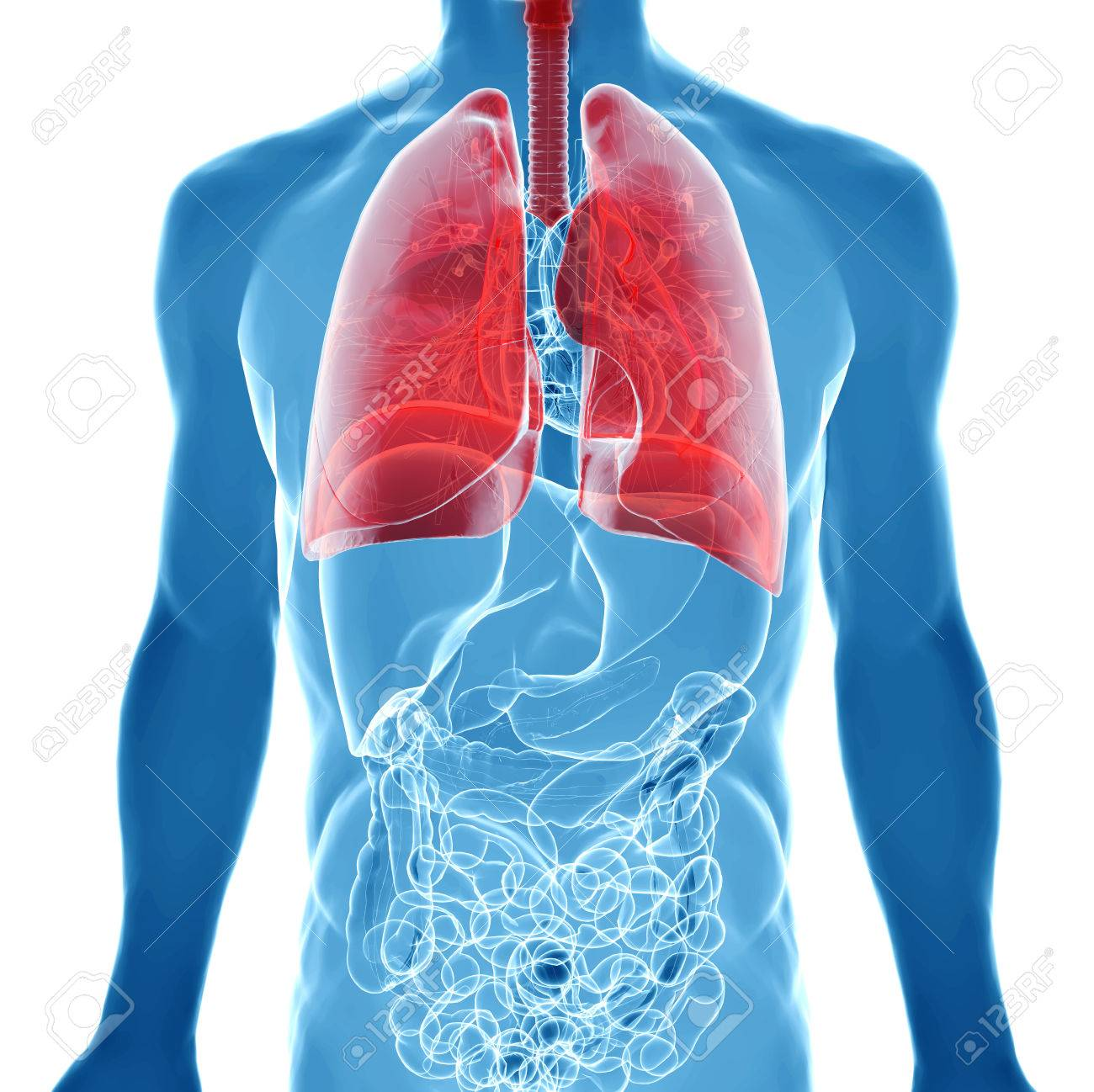 Human Body Under X-rays Isolated On White With Highlighted Lungs ...