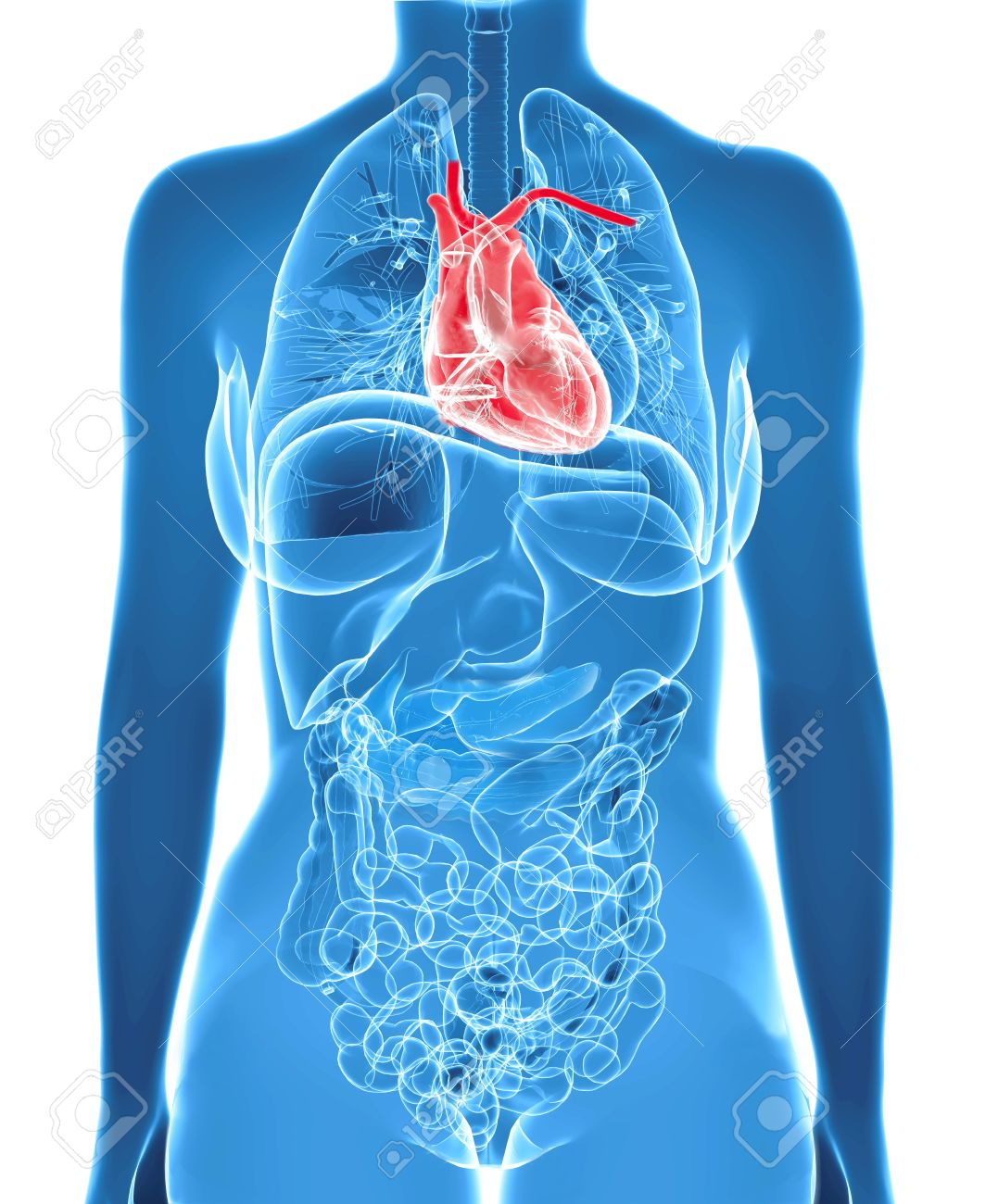 Human Heart Inside Female X-ray Body Isolated On White Background ...