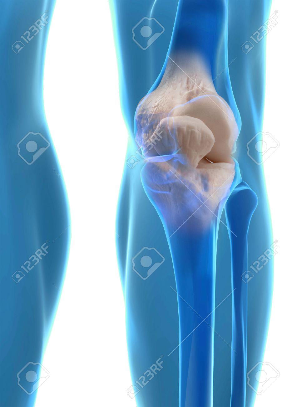Anatomía De La Rodilla Humana Con El Fémur, La Tibia Y El Peroné ...
