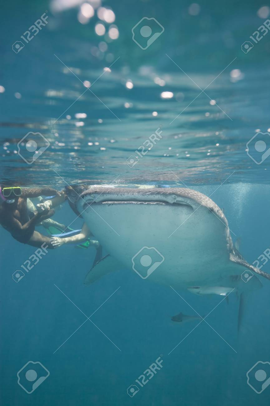 Snorkeling with a huge whale shark Stock Photo - 7514248