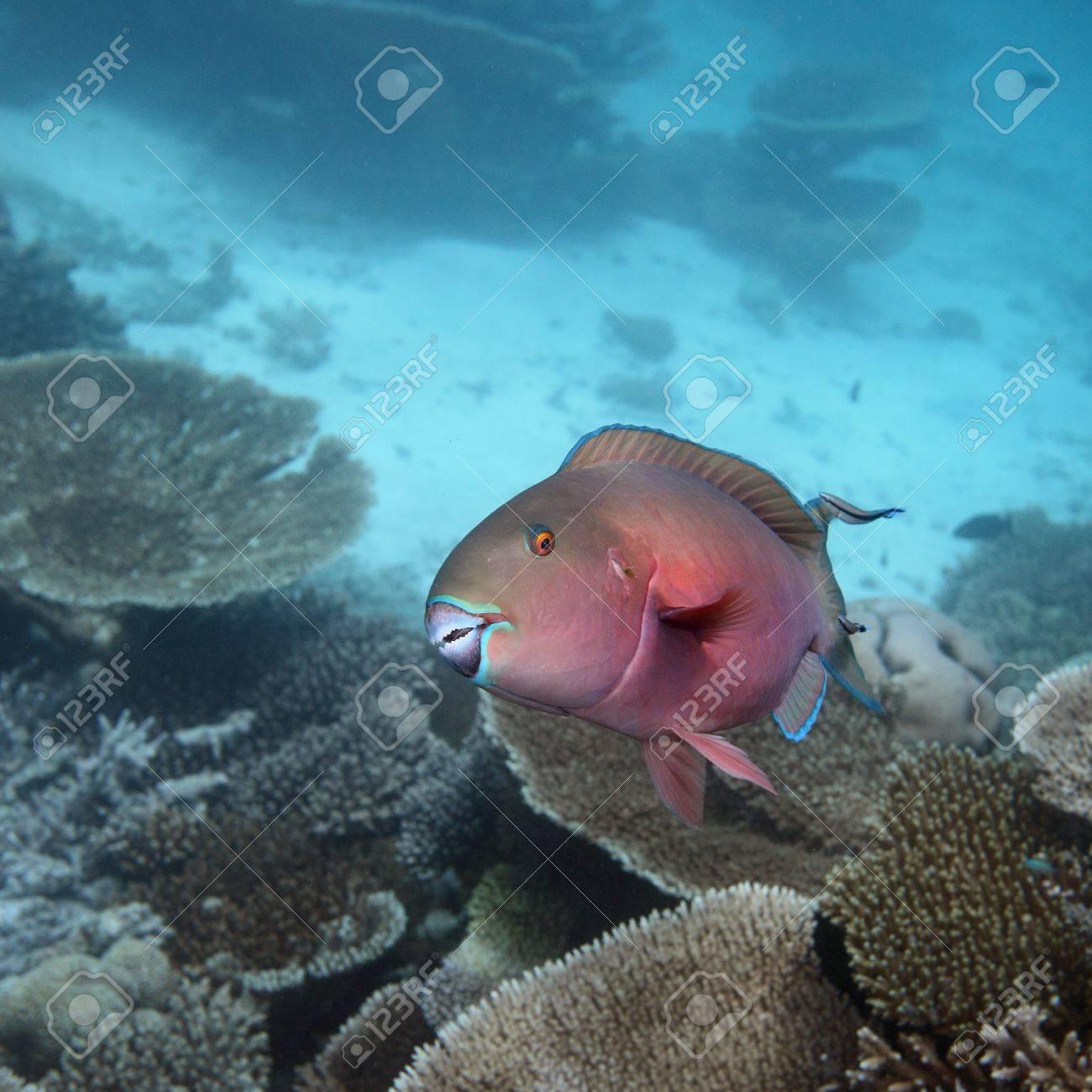 Parrotfish Stock Photo - 7537206