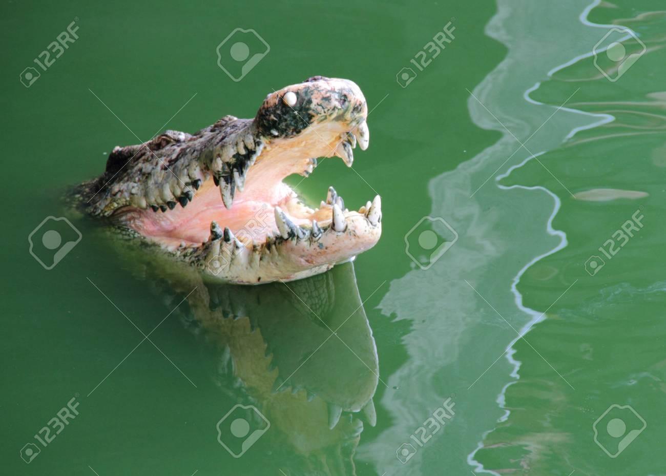 Crocodile in water Stock Photo - 13734929