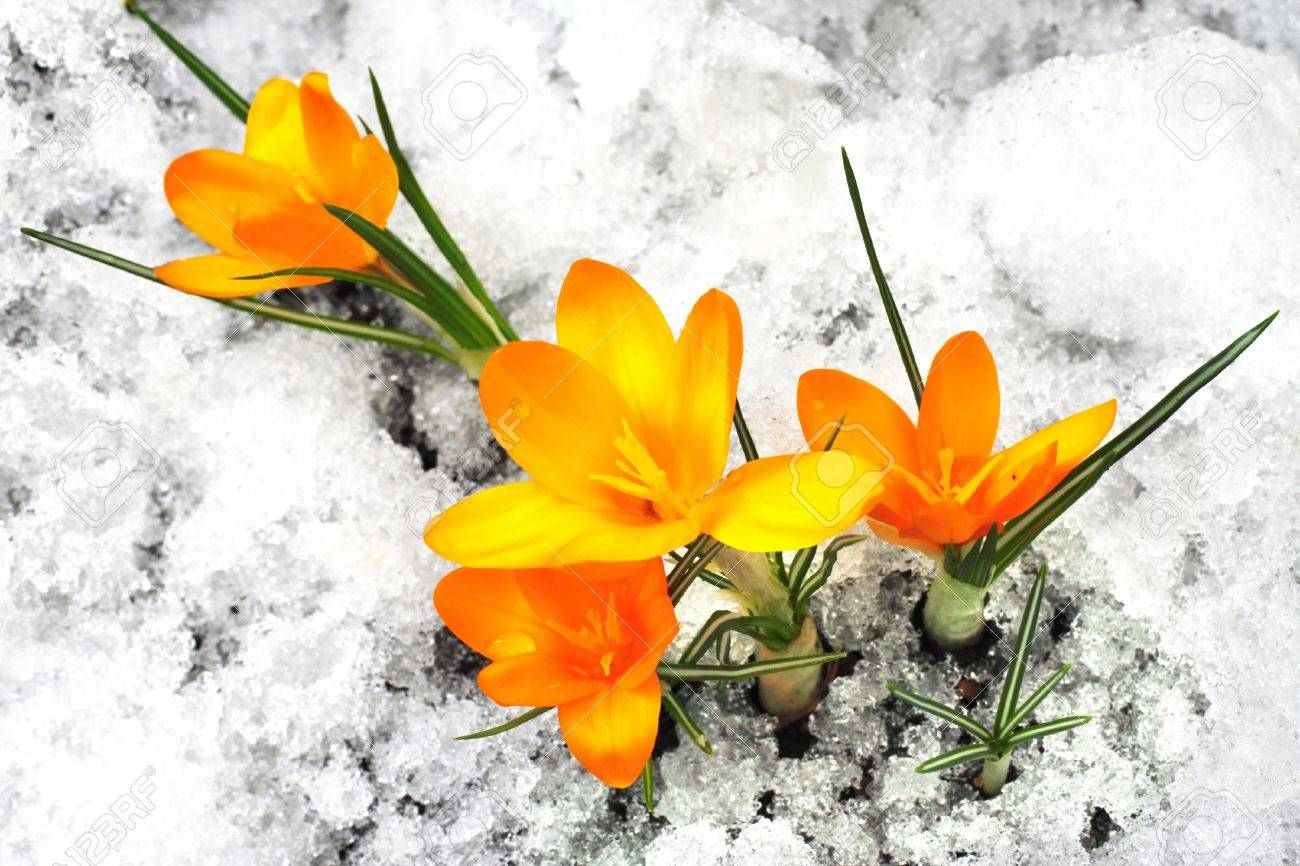 Yellow crocus flowers in the snow stock photo picture and royalty stock photo yellow crocus flowers in the snow mightylinksfo