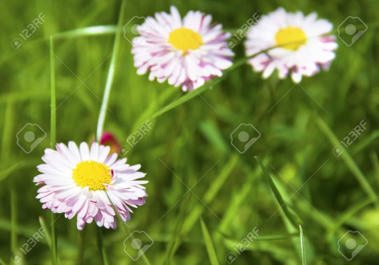 Gemeinsame Weiß Und Rosa Margerite Blumen Im Grünen Gras Lizenzfreie Fotos @KU_38