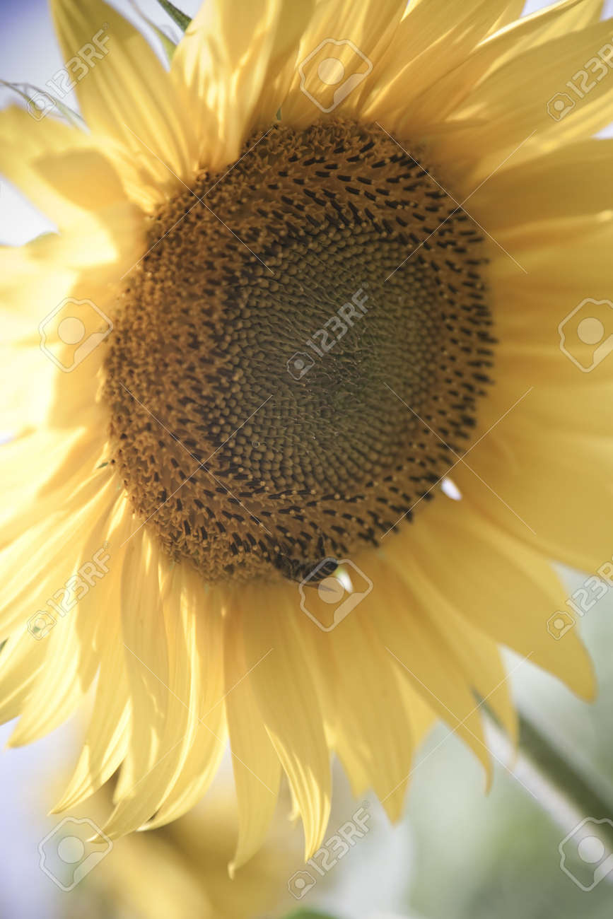 sunflower / soft toning / pleasant pastel colors / summer Stock Photo - 5124459