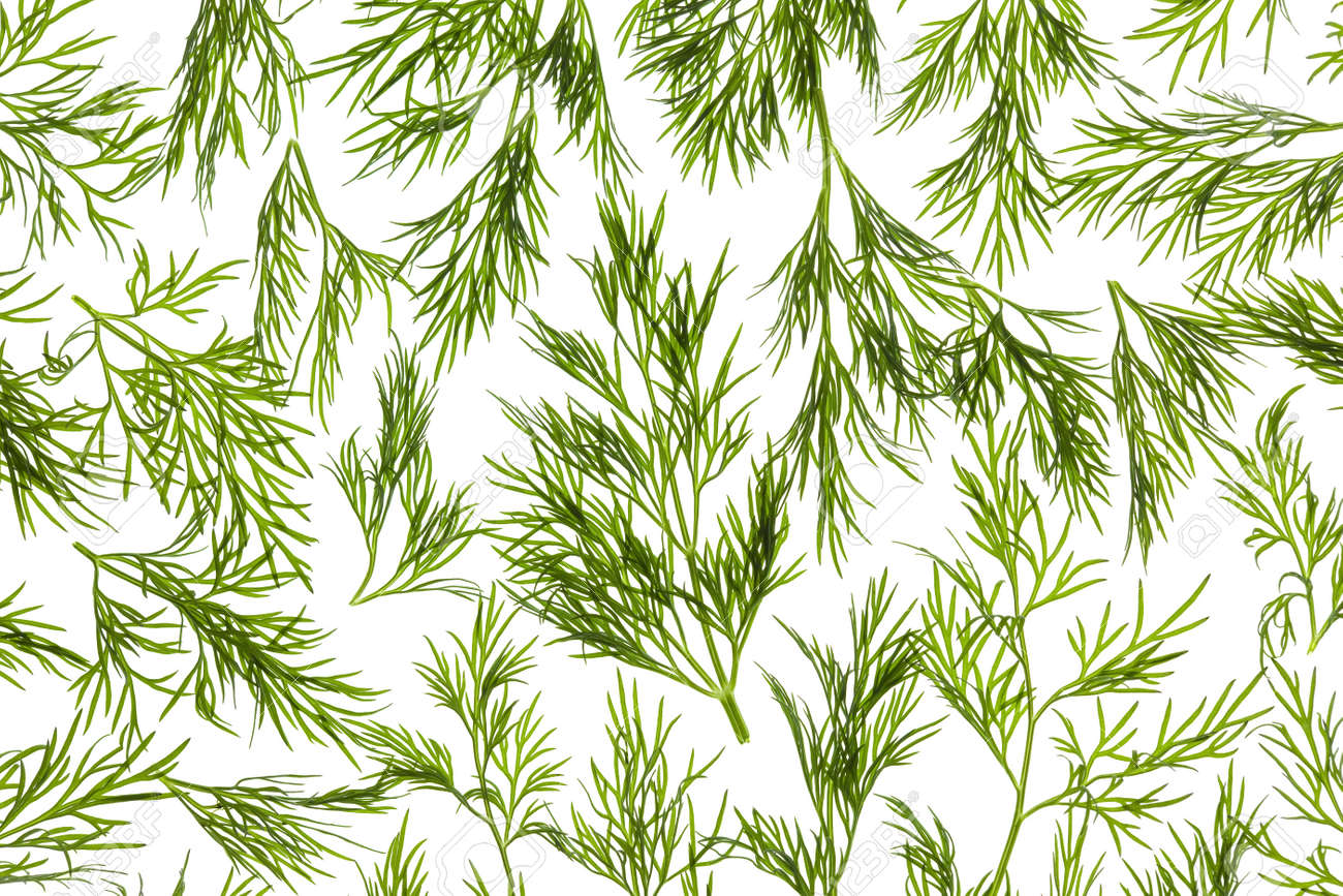 Fresh Dill close-up background / back-lit Stock Photo - 12894060