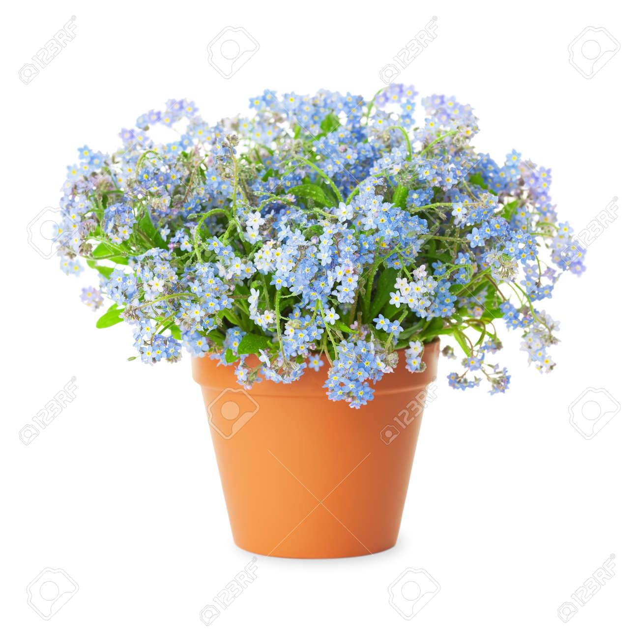Bloemen In Pot.Vergeet Mij Niet Bloemen In Pot Gea Soleerd Op Een Witte Achtergrond