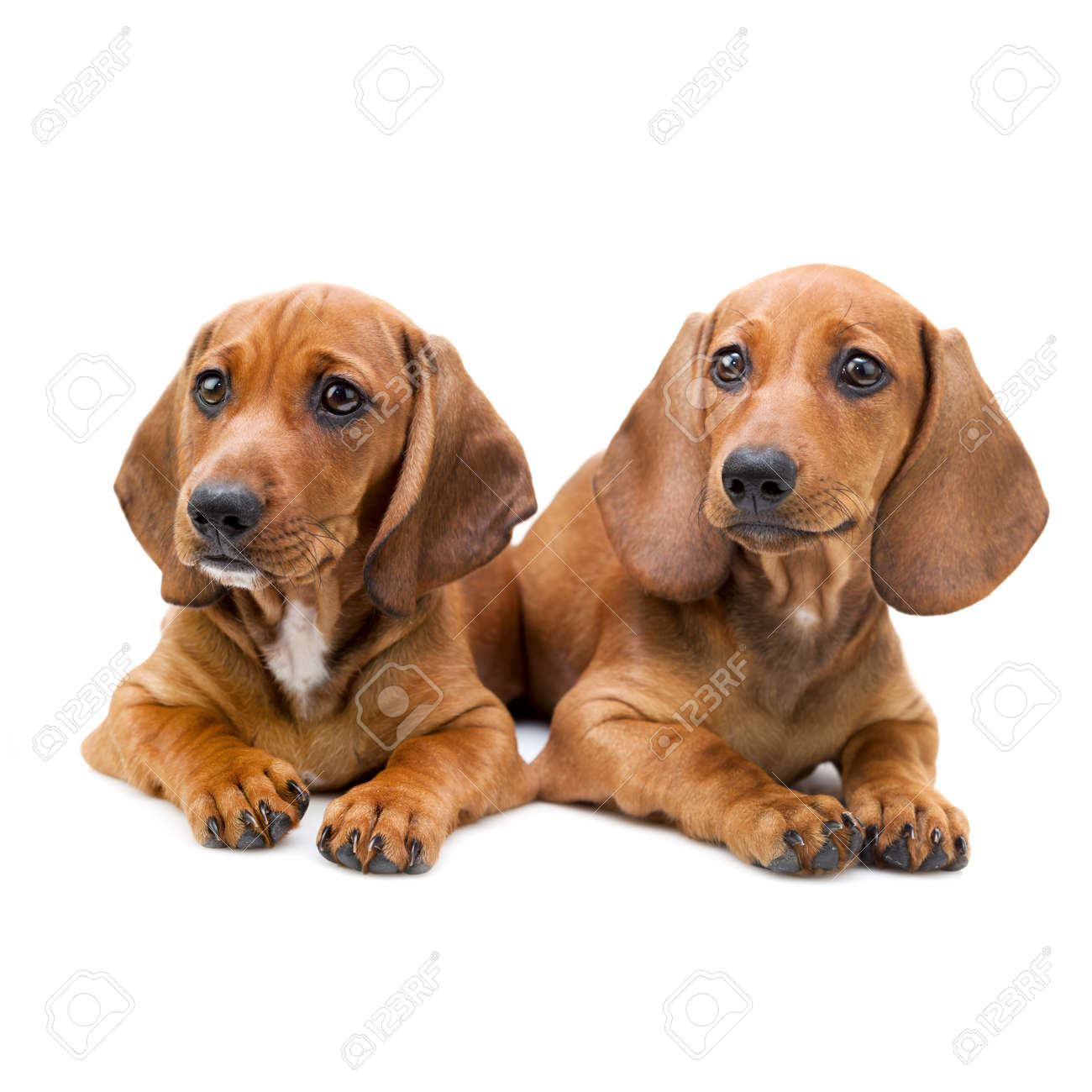 Isolated Two Cute Dachshund Puppies Sitting On White Background Stock Photo Picture And Royalty Free Image Image 23863045