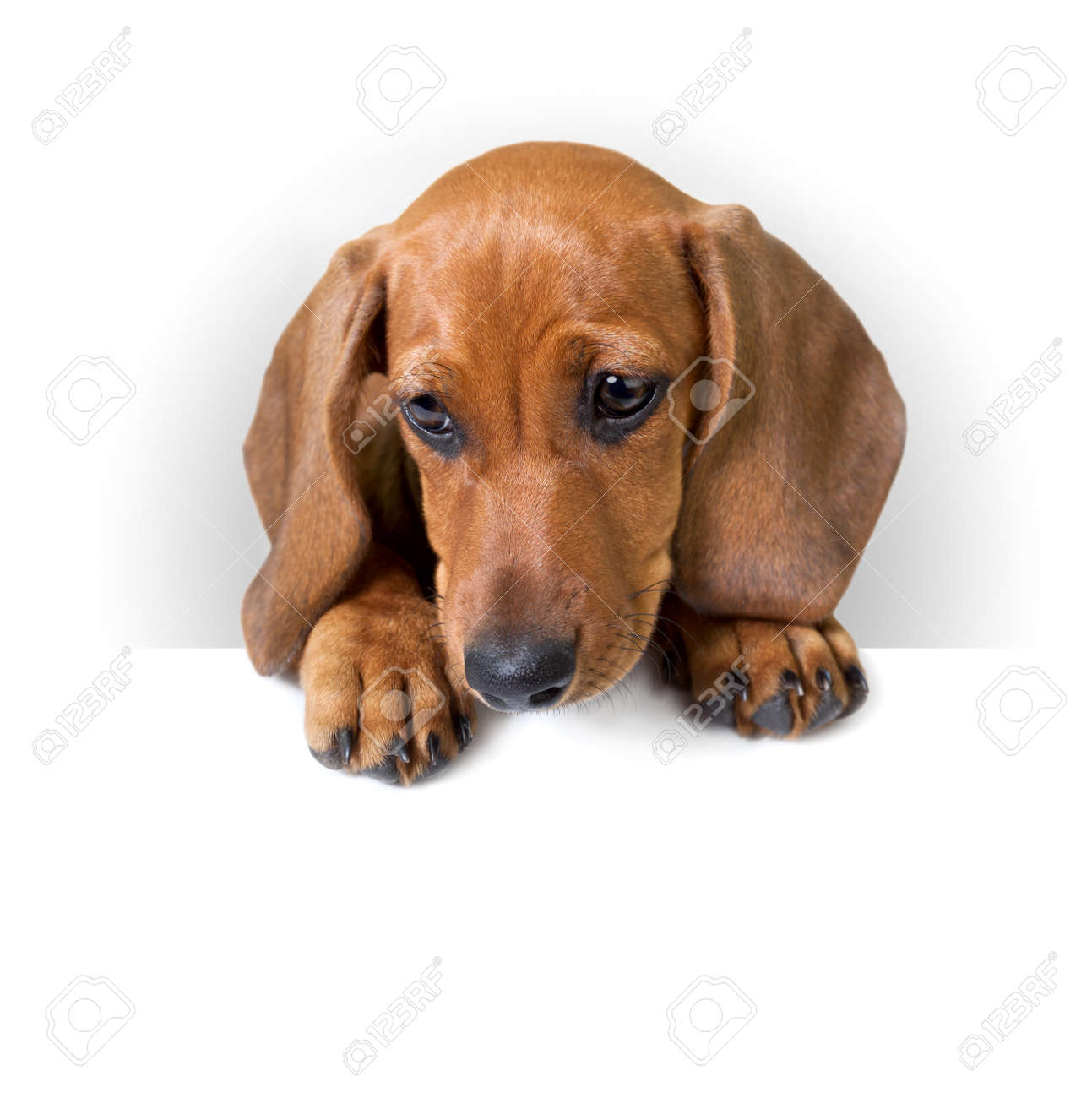 cute Dachshund Puppy with white banner for text   copy space   Isolated Stock Photo - 23863046