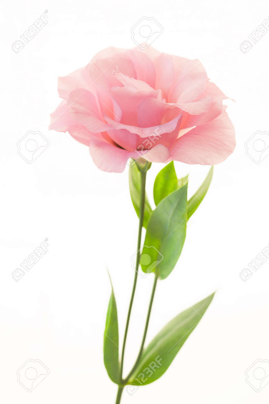 Fresh pink rose flower isolated on white - 38236848