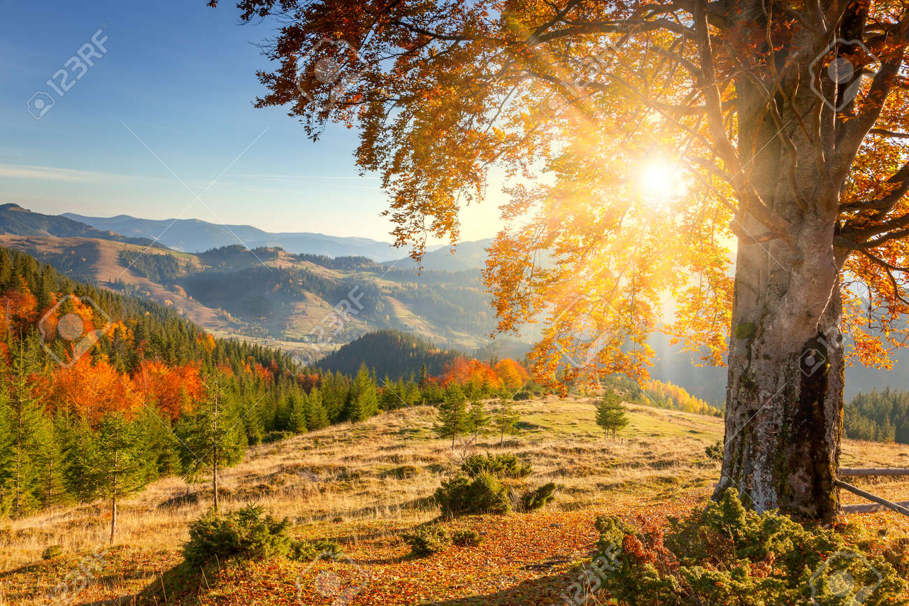 Early Morning Autumnal Landscape - yellow old tree against the sun, mountains range - beautiful fall season - 45304344