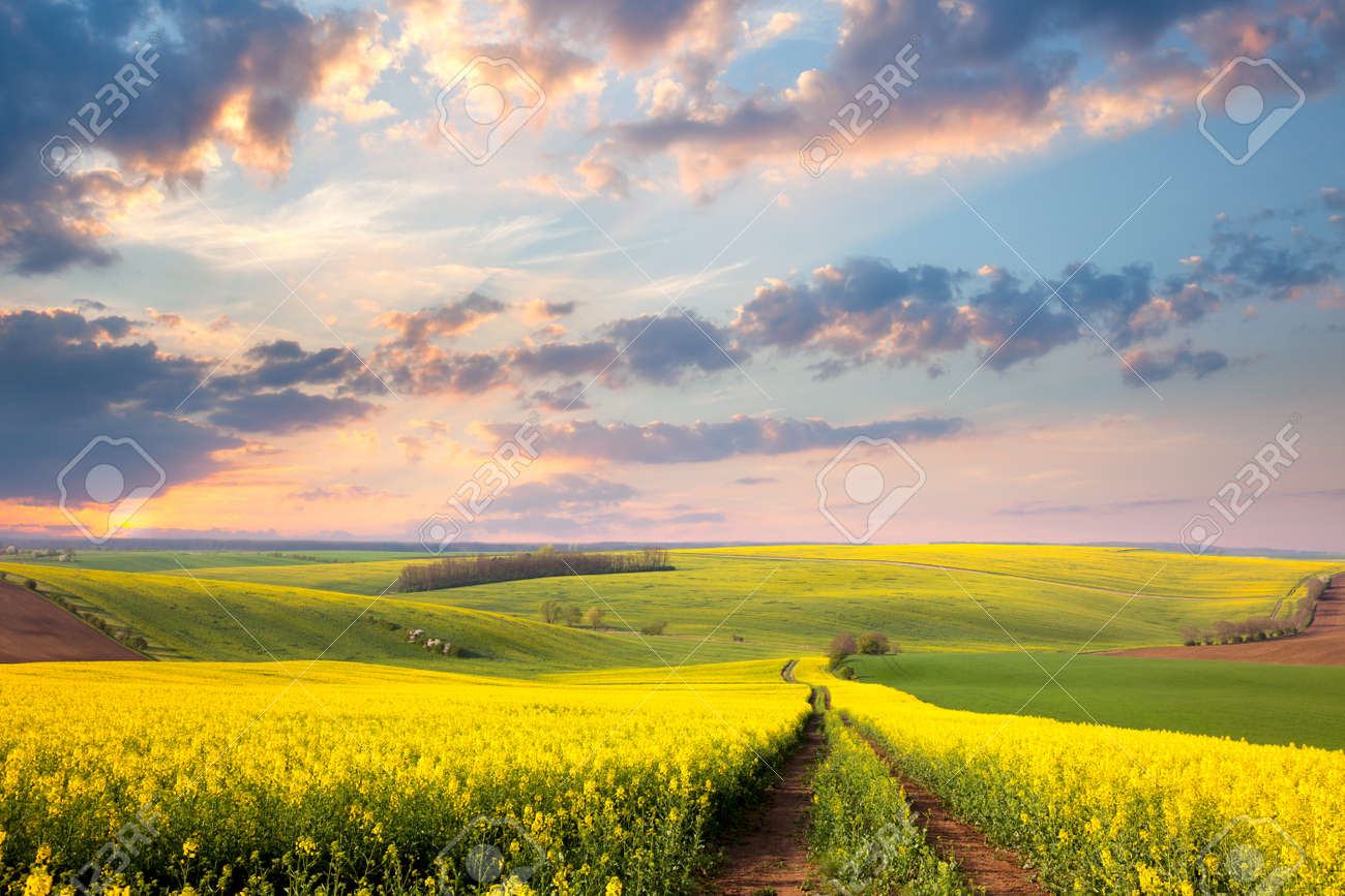 Yellow flowering fields, ground road and beautiful valley, nature spring landscape Stock Photo - 50960903