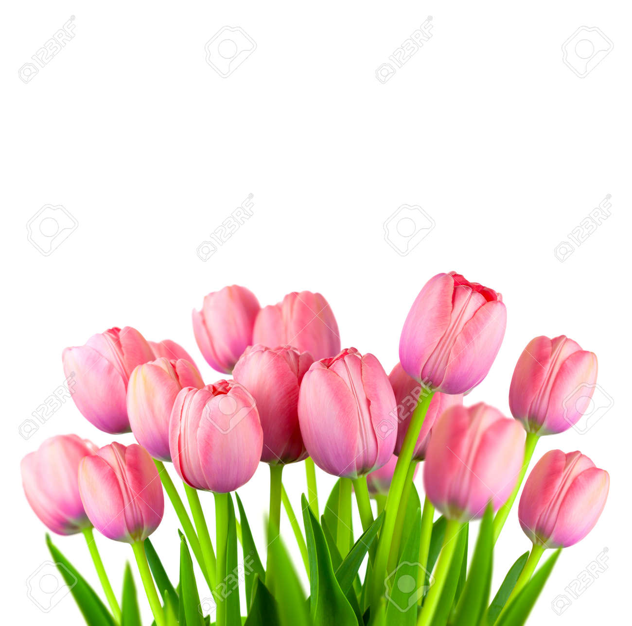 Border Of Fresh Pink Tulips Spring Flowers Bouquet Isolated Stock