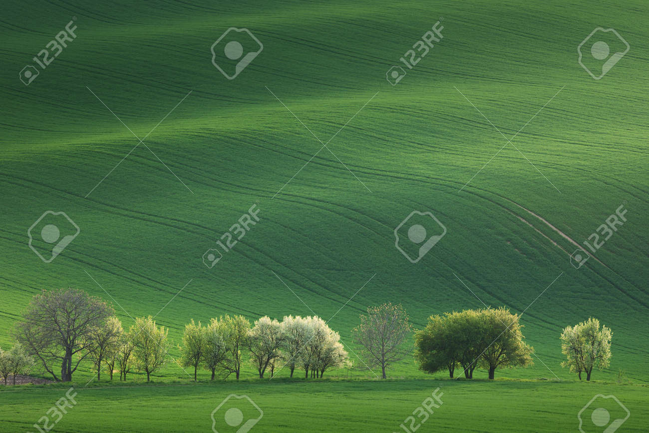 Blossom Trees overlooking rolling hills with fields in sunset light suitable for backgrounds or wallpapers, natural minimalism landscape, South Moravia, Europe - 54725297