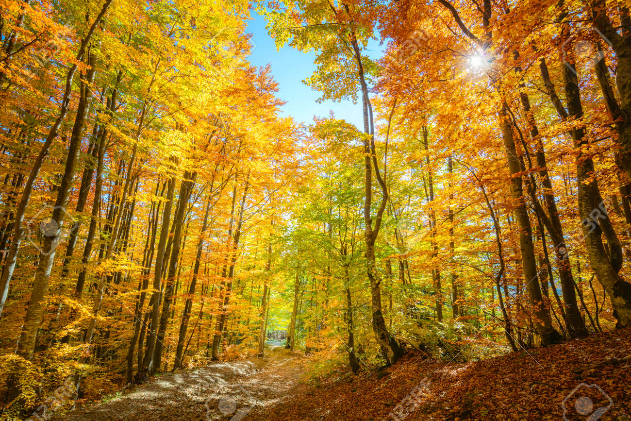 Real Autumn forest background with sun - autumnal landscape with bright yellow leaves and trees in wild forest - 131155626